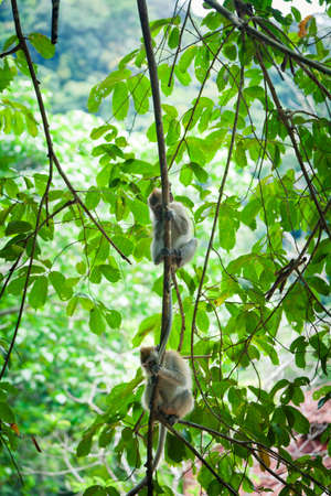 langkawi island: Two monkeys on the tree branch in the tropical forest of Langkawi Island, Malaysia. Stock Photo