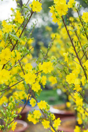 yellow blossom: Tet Blossom Trees the symbols of Lunar New Year Holidays at the street market, Ho Chi Minh City, Vietnam.