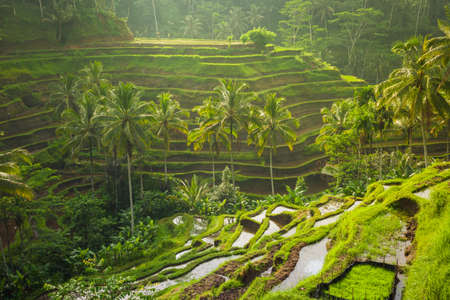 Beautiful rice terraces in the moring light near Tegallalang village, Ubud, Bali, Indonesia. Stock Photo - 55481538