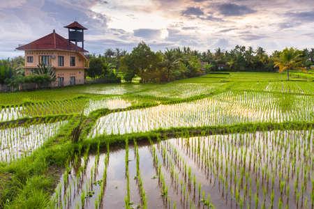 Beautiful sunset over the rice field, Ubud, Bali, Indonesia. Stock Photo - 55481539