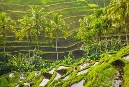 Красивые террасы риса в Moring света вблизи села Tegallalang, Убуд, Бали, Индонезия. Фото со стока