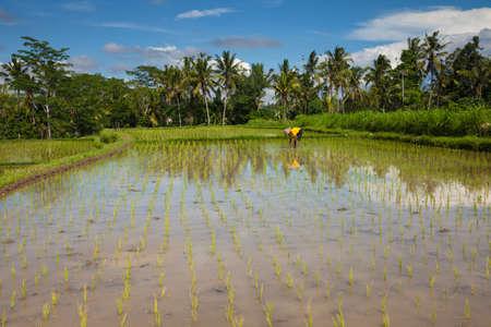 ubud: Farmer is planting rice on the rice fields in Ubud, Bali, Indonesia