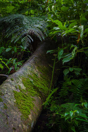 Mossy trees and lush leafs in the rainforest