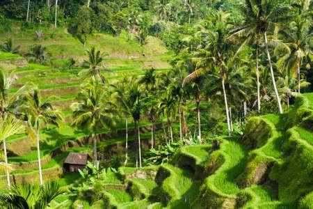Красивые рисовые террасы в утреннем свете, Убуд, Бали, Индонезия.