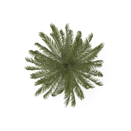 Palm tree. Isolated on white background. 3D rendering illustration. Top view. Stock Photo