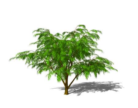Albizia tree. Isolated on white background. 3D rendering illustration.