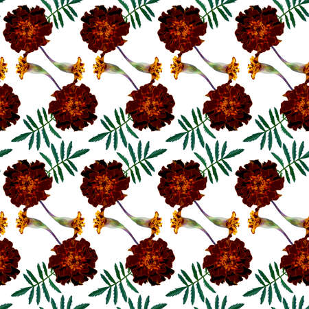 Seamless pattern with brown Tagetes patula (French marigold) flowers and green leaves on white background. Endless colorful floral texture. Raster illustration.