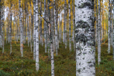 Birch forest with one birch trunk in foreground.