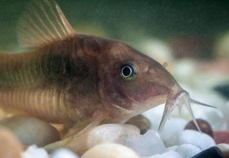 Corydoras catfish swimming in a aquarium.