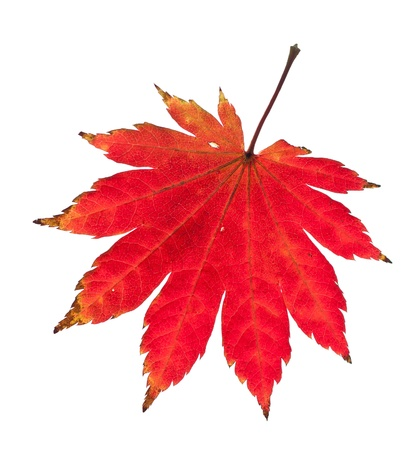 Red maple leaf isolated on white background. photo