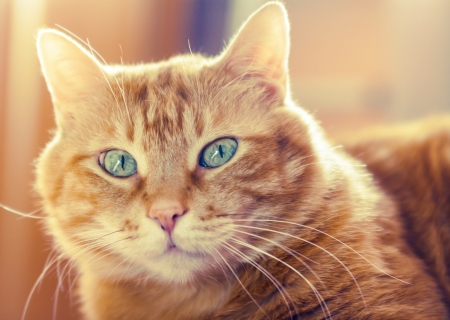 Lovely red cat looking into the camera  Soft focus Stock Photo - 18705091