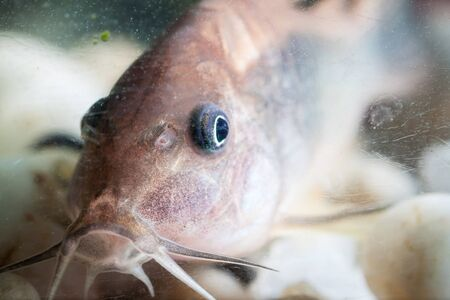 Corydoras catfish swimming in a aquarium. Stock Photo - 18705064