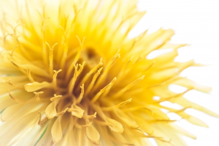 Yellow dandelion flower on white, macro with shallow depth of field  photo