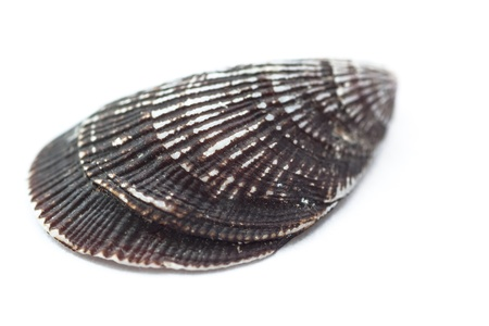 Close-up of a seashell on white background   photo