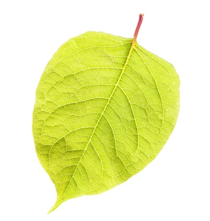 Green leaf isolated on white background  Stock Photo - 20439812