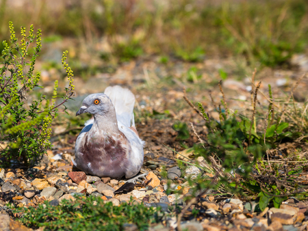 A pigeon sitting on small stones  photo