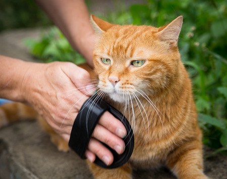 Woman combing a red cat outdoor photo
