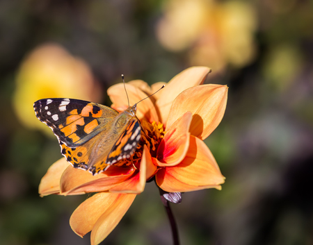 butterfly stationary: Closeup of Monarch Butterfly feeding on Cosmos Flower