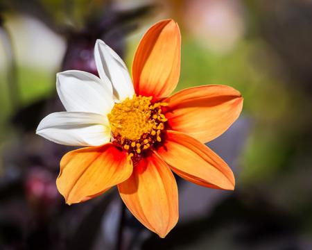 Orange Cosmos Flower with mutation - three white petals Stock Photo