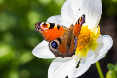 European Peacock butterfly on a Cosmos flower Stock Photo - 27678654