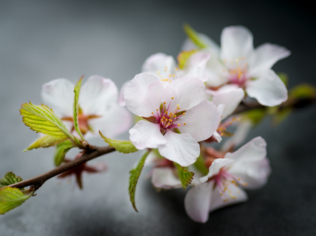 Cherry blossoms on a dark background  Selective focus with shallow depth of field  photo