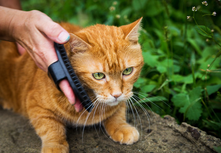 Woman combing a red cat outdoor  Selective focus