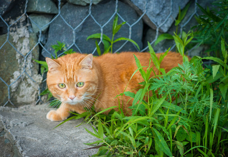 sneaking:  Red cat sneaking through the grass   Stock Photo