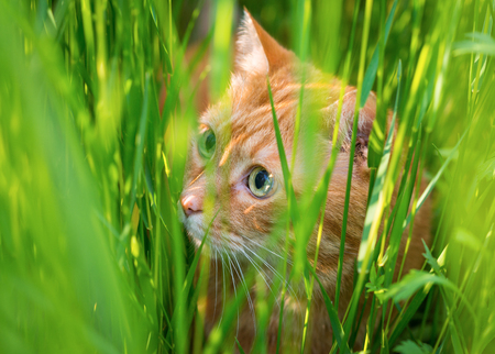 sneaking:   Red cat sneaking through the grass  Selective focus  Stock Photo