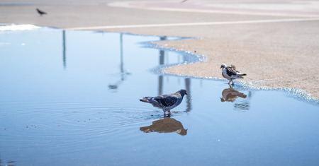 City pigeon drinks water from puddle. Selective focus. photo