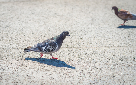 Grey city pigeons. Selective focus with shallow depth of field. photo