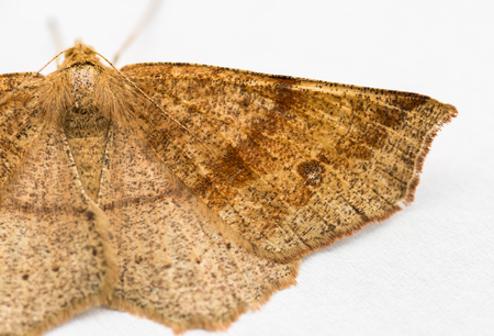 spreaded: Moth resting on white paper. Selective focus with shallow depth of field.