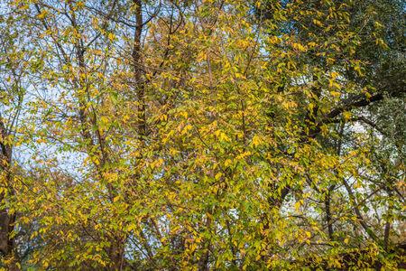 wilting: El marchitamiento de hojas sobre un �rbol. Fondo del oto�o. Enfoque selectivo.