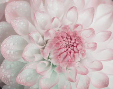 Dahlia with water drops. Color toned. Selective focus with shallow depth of field.