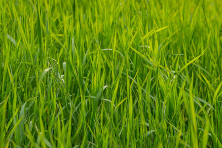 Fresh green grass as background. Selective focus with shallow depth of field. photo