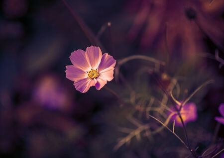 Cosmos flower. Color toned image. Selective focus with shallow depth of field. photo