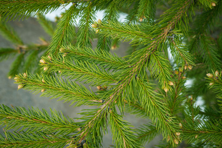 depth of field: Pine branches. Selective focus with shallow depth field. Stock Photo