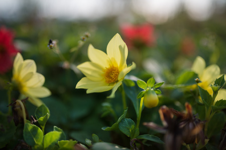 depth: Cosmos flower. Selective focus with super shallow depth of field.
