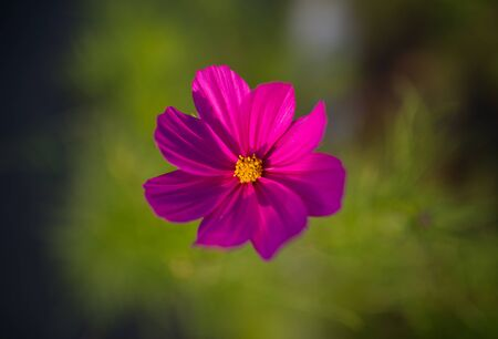 field depth: Cosmos flower. Selective focus with super shallow depth of field.