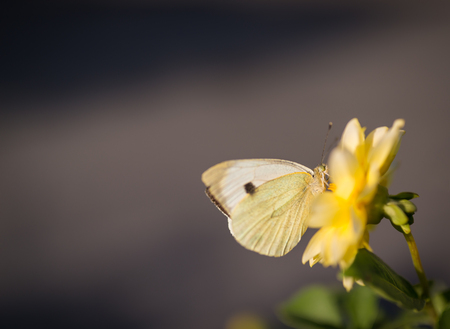 butterfly stationary: Pieris brassicae, Cabbage butterfly feeding on flower. Selective focus and super shallow depth of field.