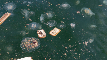 Large accumulation of jellyfish Aurelia in polluted water.