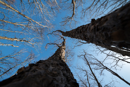wide angle lens: Tree branch silhouette over blue sky background. Wide angle lens.