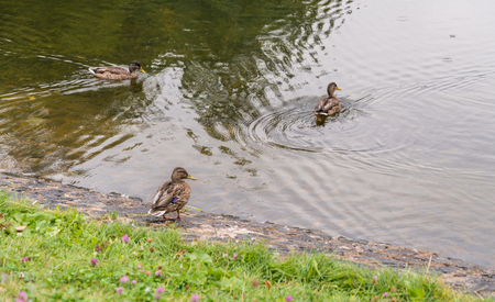 palmiped: Group of mallard ducks on the ponds shore in Moscow. Stock Photo