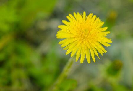 tiefe: Gelber Löwenzahn-Blume. Makro mit flachen Tiefe des Feldes. Lizenzfreie Bilder