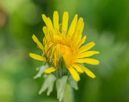 tiefe: Gelbe Blume Löwenzahn, clos-up. Geringe Schärfentiefe.