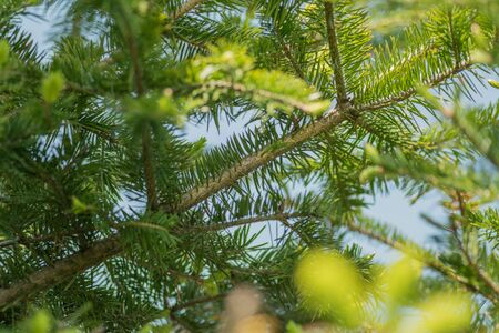 depth of field: Pine branches at springtime. Selective focus with shallow depth field.