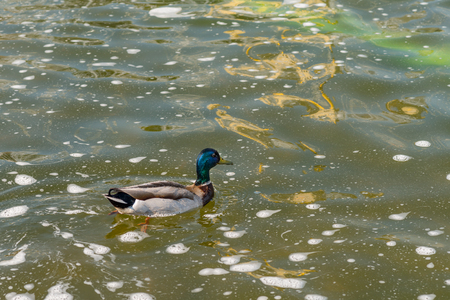 anseriformes: Mallard duck swimming at the city fountain.