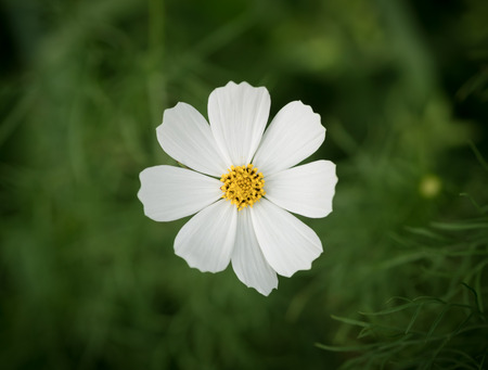 depth of field: Cosmos flower. Selective focus with shallow depth of field. Stock Photo