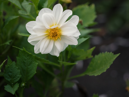 field depth: Cosmos flower. Selective focus with shallow depth of field. Stock Photo