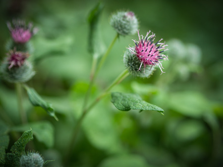 Flowers of Great Burdock (Arctium lappa). Selective focus with shallow depth of field. Imagens