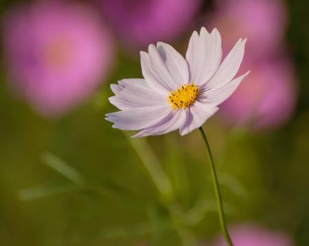 tiefe: Cosmos Blume. Selektiver Fokus mit geringer Tiefenschärfe.